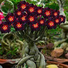 Desert Rose are not difficult plants to grow well, provided they get enough sunlight and warmth. Like all succulents, they cannot tolerate...