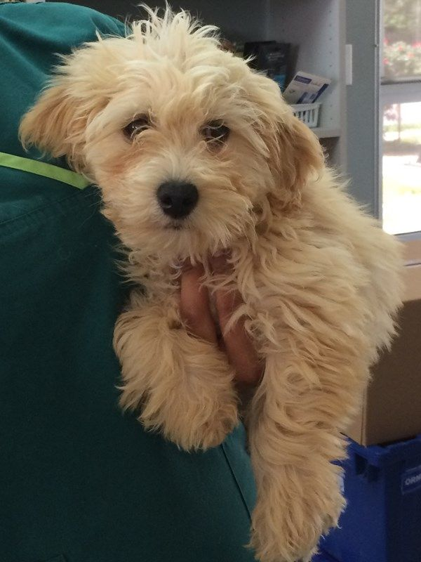 Boscoe a 1012 week old Goldendoodle was picked up as a