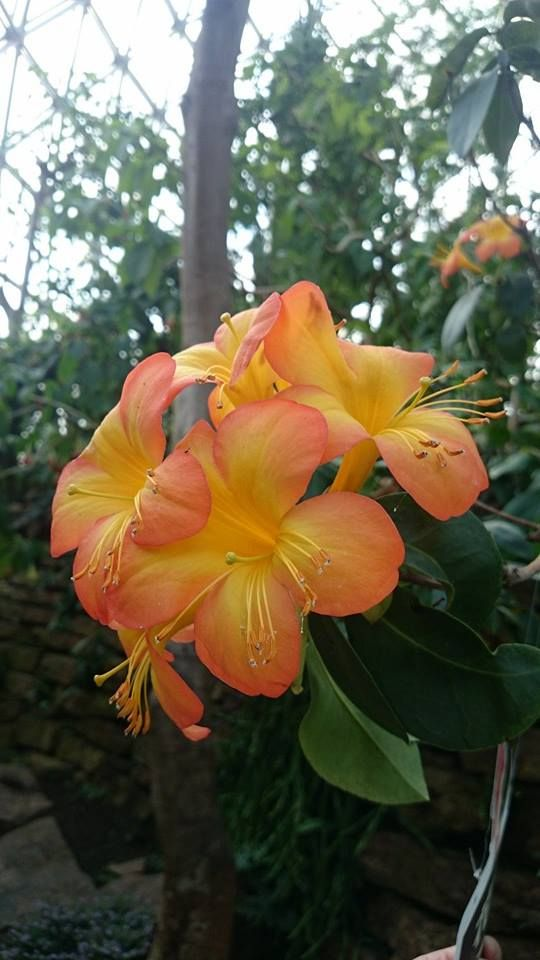 Rhododendron zoelleri