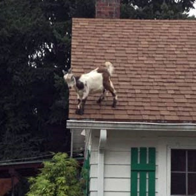 1000+ images about All things Goats on Pinterest | Goats ...