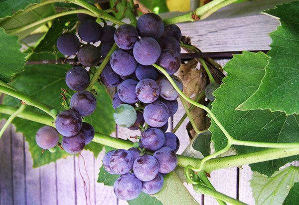 Planter une vigne en pot | Grape plant, Growing grapes, Grapes