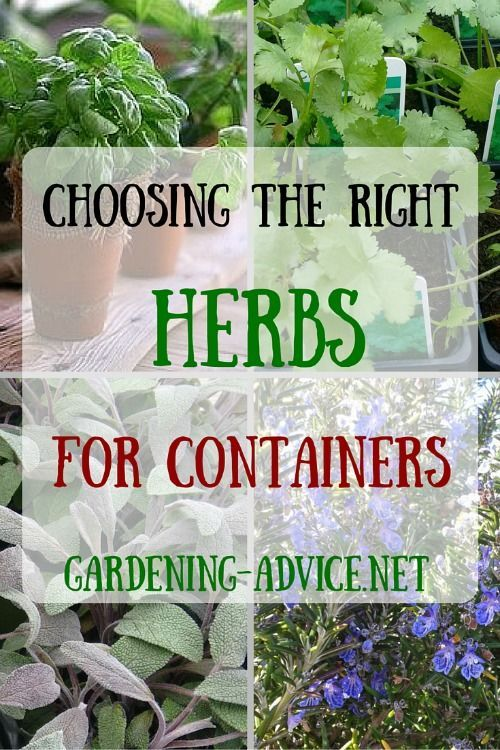 Choosing the right herbs for a Container Herb Garden is critical for success. Here is a selection of culinary herbs that work well for growing herbs in pots.
