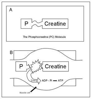 Cardiac Anesthesiologist: Cardiac protection with phosphocreatine: a meta-an...