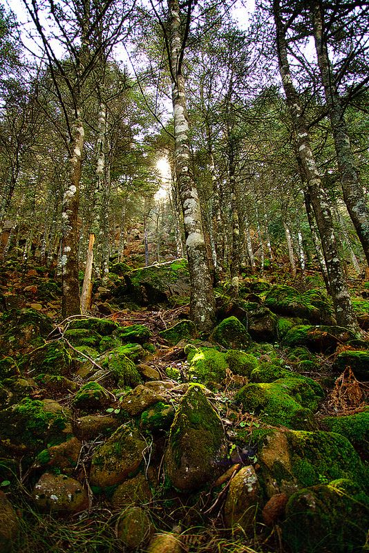PINSAPOS en la sierra de Estepona | Flickr - Foto Alberto Navarro #Estepona #spain #pinsapo