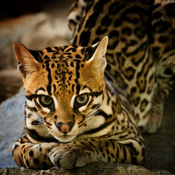 Ocelot by Beppe Verge