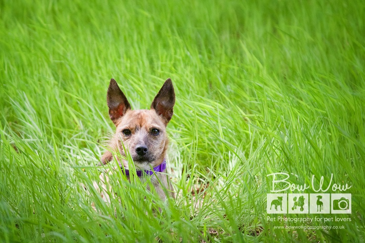 bow-wow-photography-outdoor-pet-shoot-jack-russell-june-1Jack Russell