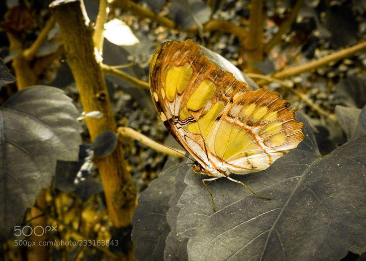 Papillon de lumière (Yann Skriker / Toulouse / France) #Sony Cyber-shot DSC-HX400V #animals #photo #nature