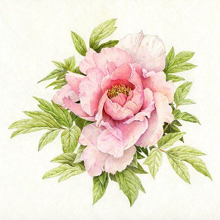 241 best printable flowers pink images on pinterest botanical flower drawings in pencil colour colored pencil peony final mightylinksfo