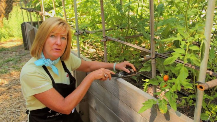 Common tomato plant diseases & cures