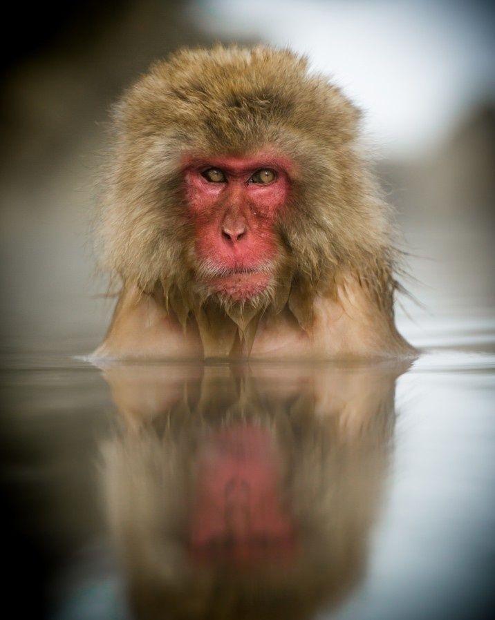 Macaco toma banho nas águas quentes do Parque de Jigokudani, em Yamanouchi, no Japão. O registro foi feito pelo fotógrafo Philip Field, do Reino Unido