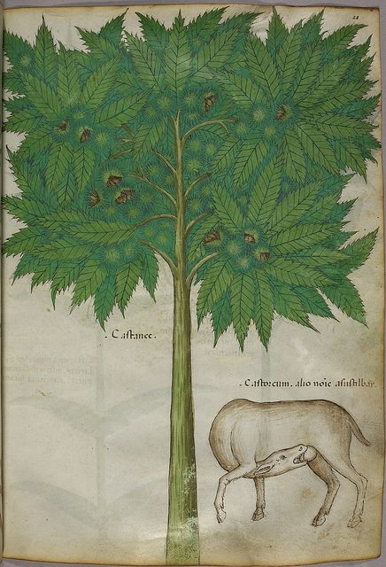 Miniature of a tree and an animal castrating itself - (Tractatus de Herbis - Sloane 4016 f. 28)