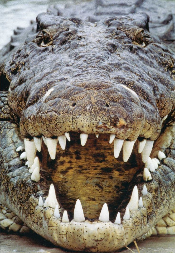 American crocodile - Wikipedia