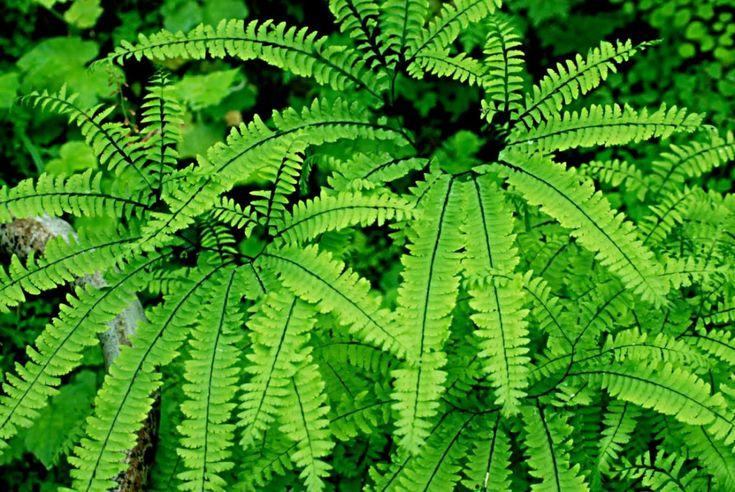 fougères plantes verticales