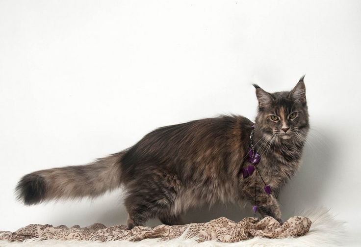 Maine Coon, blue torti tabby mackerel (g 23) CH Ma Lady en Bleu by Imagine Glamour*CZ