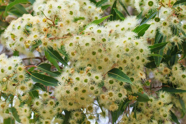 marri-flower-honey-redgum-6.jpg (1480×986)