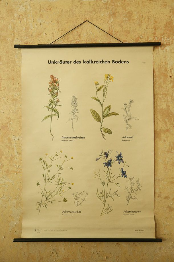 Original BOTANICAL Vintage German School Wall Chart PRETTY WEEDS of calcareous soils Botany Beautiful Rare Volk und Wissen Ed by vintagewallcharts on Etsy