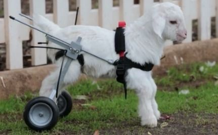 Daily Cute: Frostie the Snow Goat Finally Gets to Walk