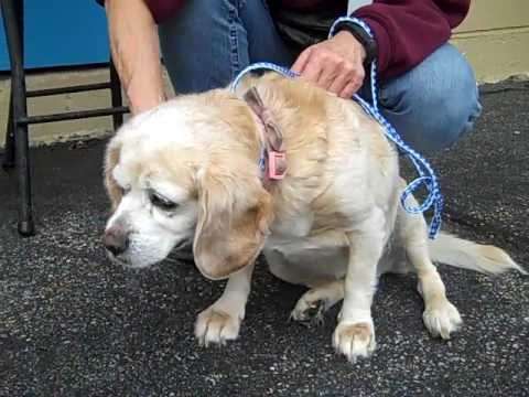 A5029455 Mable | Beagle/Cocker Spanial SENIOR ! KEEP SHARING  VERY HIGH KILL BALDWIN PARK SHELTER CA. 🆘  🆘 🐕 DOGS 🐕 in TROUBLE!!! 💉 CRITICAL🐾💉  NEED 💲 💲PLEDGES 💉 NETWORKING  #NEEDSIMMEDIATEHELP #RESCUE #FOSTER #PLEDGES #ADOPTER