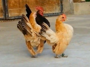 Malaysian Serama for sale - I have available for sale several malaysian Serama - young and breeding birds - roosters and pullets from my 3 ...