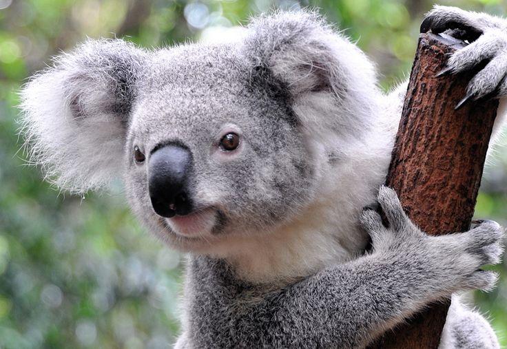 Un koala cramponné à son arbre