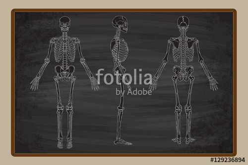 Vektör: Human Skeleton Blackboard Vector