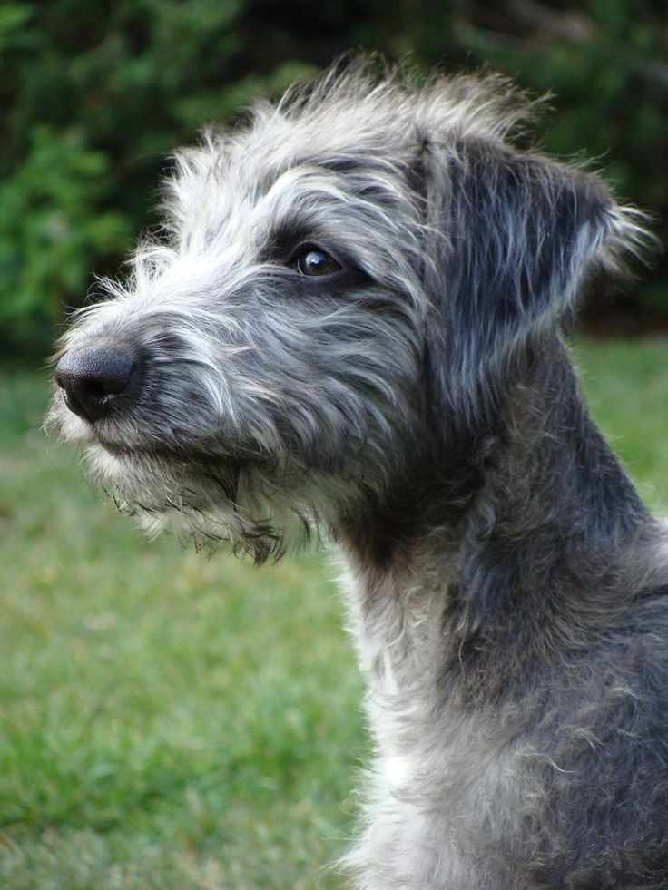 Bedlington whippet cross
