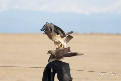 Tony Hake recently captured some rare shots of a pair of hawks mating. #photographytalk #hawks