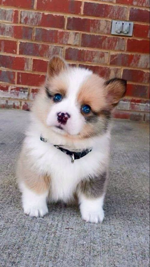 Cute blue eyed puppy