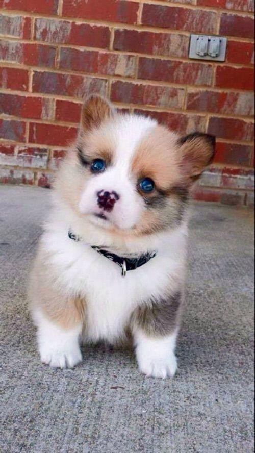 Cute blue eyed puppy