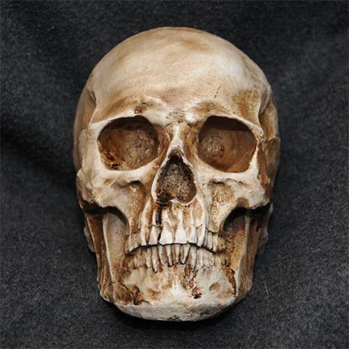 Realistic-1-1-Human-Skull-Model-Anatomical-Medical-Skeleton-Antique-Brown
