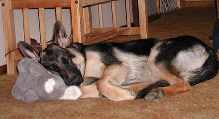 german shepherds sleeping together | German Shepherd Dog Sleeping with Stuff Toy | Dog Pictures, Photos ...