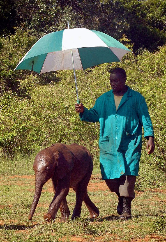 Orphan elephants need sun protection too. Sheldrick elephant orphanage.  photo www.garyrobertsphoto.com