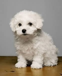 I love this Bolognese puppy! I want it.