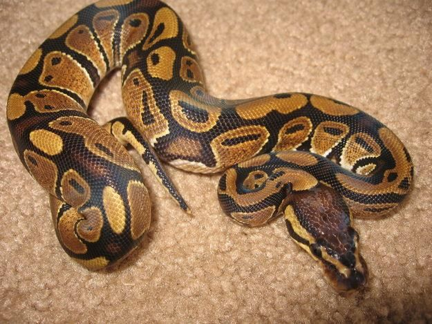 1000+ images about Pythons on Pinterest | Carpets, Parks ...