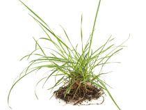 Straatgras (Poa annua) is een eenjarig gras met een brede, bleke bladschede. Hij komt vaak voor in het gazon. Je kunt dit onkruid bestrijden door het kort te maaien om zo de bloei te voorkomen. Vervolgens moet je het met wortels en al verwijderen. Als het tussen de tegels groeit, kan je het eventueel afbranden met een speciale brander of met kokend water.