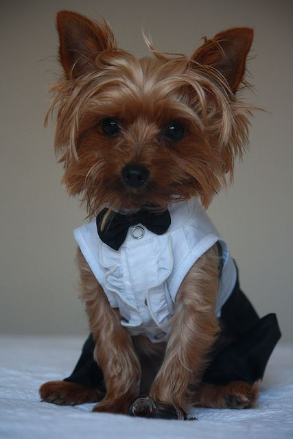 this cute yorkie is ready for the big day! #wedding #dog #animals #adorable #tuxedo #MiWeddingNeeds
