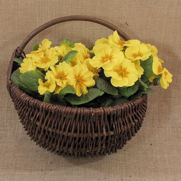 Wiklina (Wicker) - Cebulak średni z kwiatami