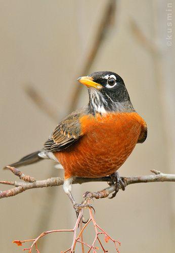 american robin (turdus migratorius) maplewood flats, north vancouver, bc.