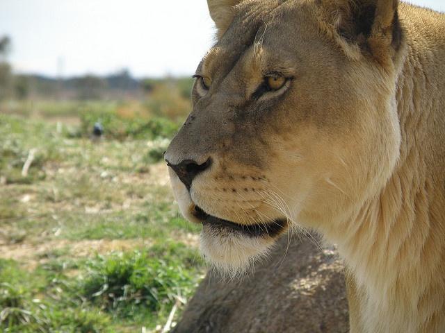 Lioness at Werribee Zoo, Melbourne, Australia