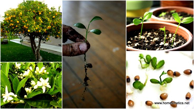 Who does not love that fresh acidic smell a lemon exudes when squeezed or the lovely contrast of white, pure, delicate lemon flowers and the bright rich green of the lemon tree leaves? We use lemon all the time and we can usually buy them […]