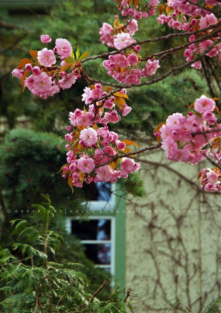 Pölcz Klaudia - kisklau: Tavasz az Alsólővérekben - Sakura