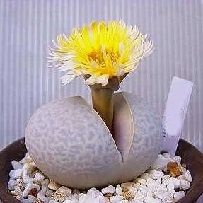 south american succulents - Google Search