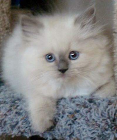Ragdoll Kittens for Sale - Buy