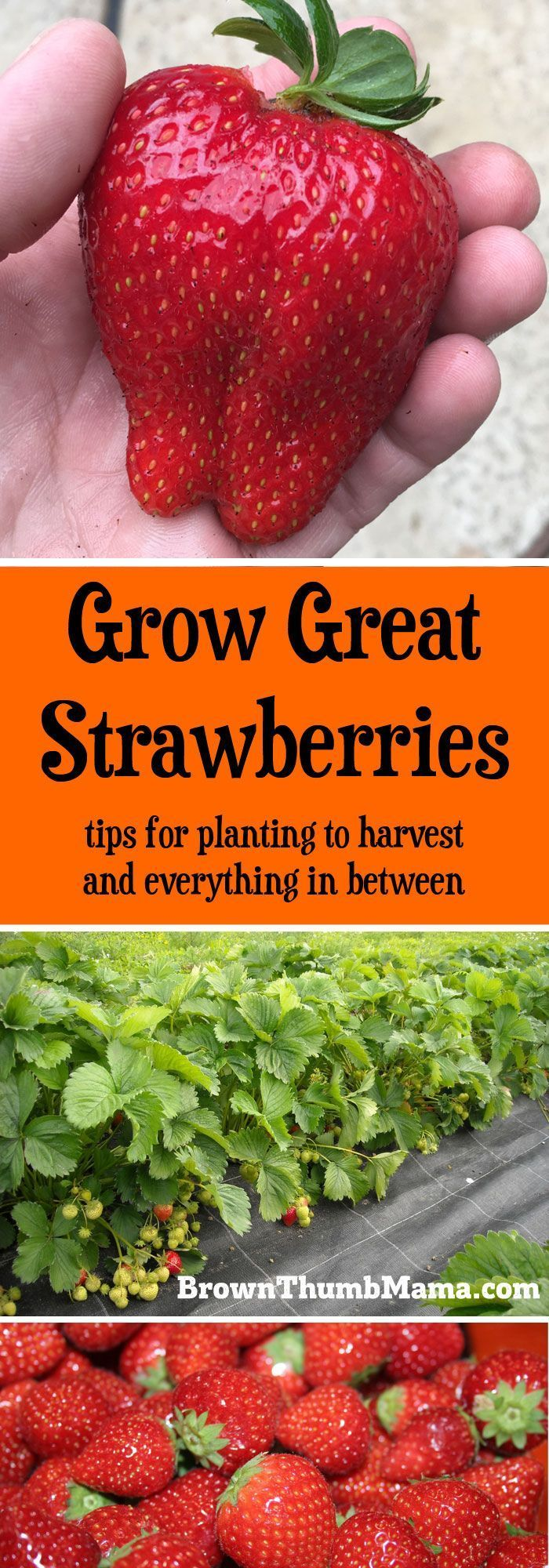 Strawberries are super-easy to grow, but there are a few important tips to keep in mind. Here��s everything you need to know to grow gallons of strawberries in your garden.