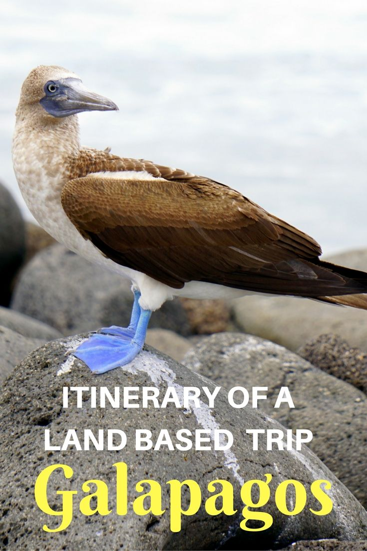 Seeing the blue-footed booby was one of the highlights and part of an itinerary of a DIY land based trip to the Galapagos Islands, Ecuador | Guide to staying at Santa Cruz Island | Galapagos with kids