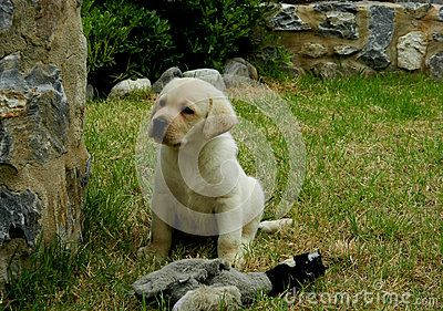 Yellow Labrador Retriever puppy male in garden with dummy duck on his feet.