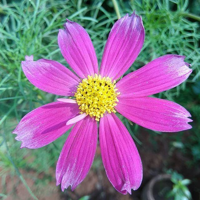 Rose Shrub Petal Plant Flower Pink Blossom Valentine Love Flora Garden Bloom Camellia Floral Flowers Romance Spri Flower Garden Plants Flowers