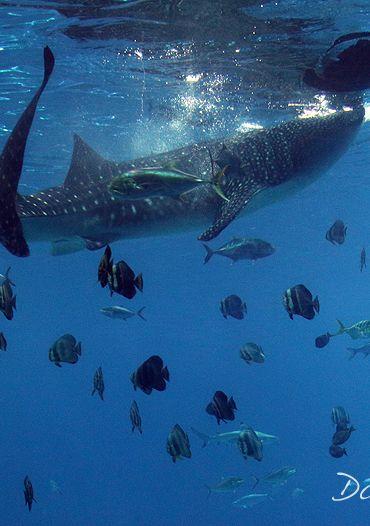 Visit the Georgia Aquarium and See Whale Sharks. @exploregeorgia #georgia #whaleshark http://livedan330.com/2015/01/03/georgia-aquarium/