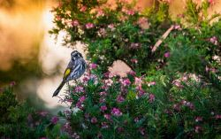 FAR-0007215 © WestPix A honeyeater perched on a flowering shrub in Pemberton, South West WA. Picture: Farhad Mobarra