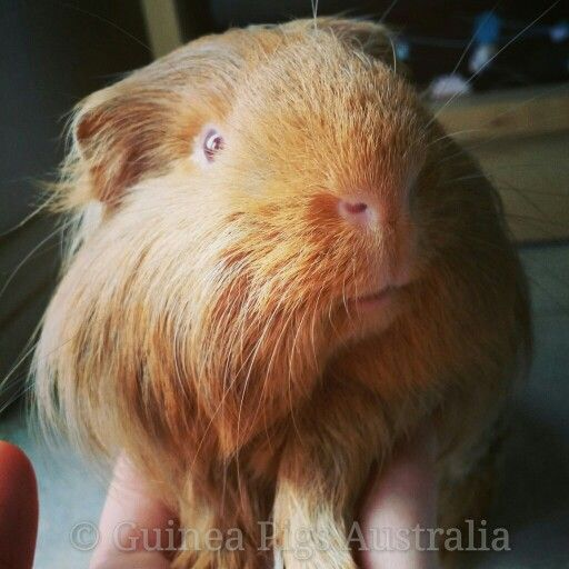 Simba the Guinea Pig